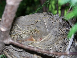 The early days...baby robins