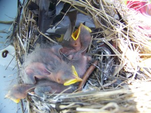A nestful of blackbirds